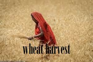 wheat harvesting 3