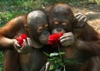 Uangatans smelling flowers