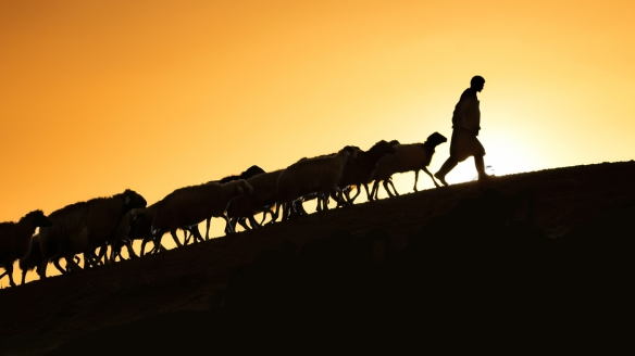 Shepherd leading his goats and sheep at sunset time