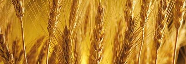 cropped-golden-wheat-1.jpg